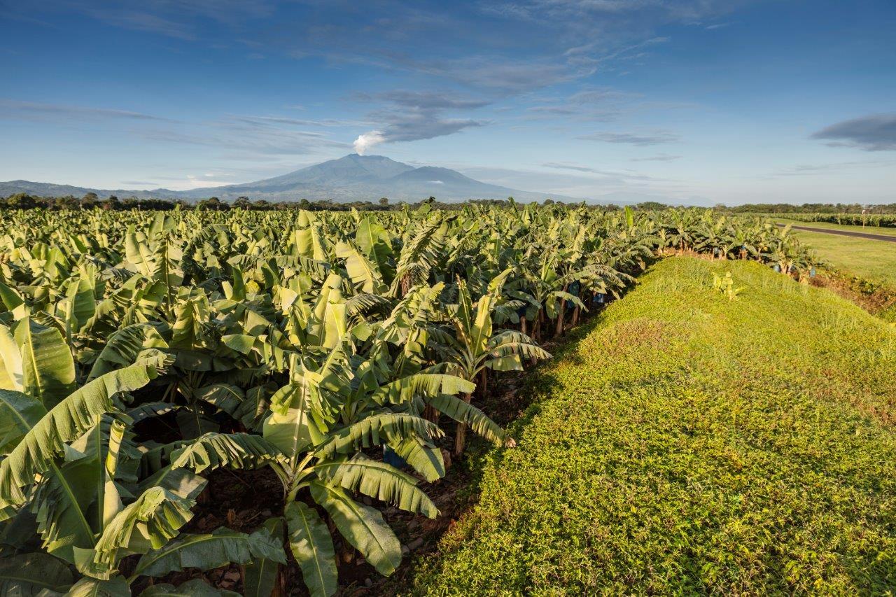 Banaan - Chiquita plantage